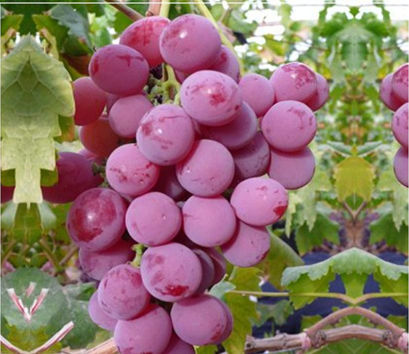Chinese fresh fruit red Fresh Organic Grapes