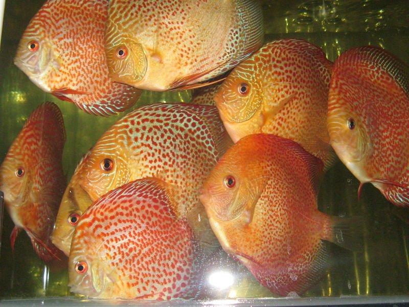 Acqua dolce ornamentali pesci tropicali e pesci marini for Pesci tropicali acqua dolce