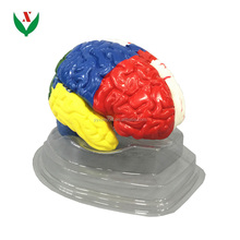 human color brain model / Human biological anatomy