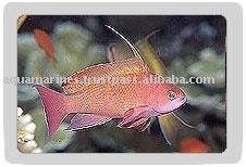 Red Coral Perch (male) Fish