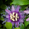 4120 Xi fan lian hua Natural best quality passion fruit flowers
