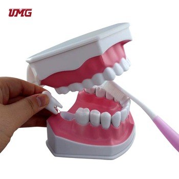 dental demonstration model baby toothbrushing model hot sale on