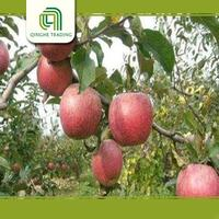 new crop red qinguan apple from china