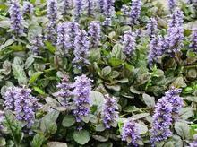 The original natural plant aromatic herbs ajuga turkestanica extract