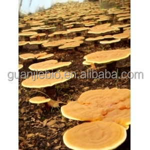 100% Natural organic Ganoderma Lucidum Extract / organic duanwood Reishi Mushroom Extract