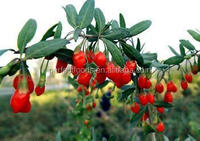 High quality Bulk Chinese Organic dried goji berry