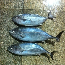 smoke fish Striped bonito tuna whole round sarda sarda fish for sale