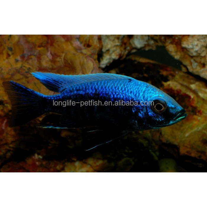 "Ornamental Fish Exporters Copadichromis sp. "" Mloto Undu "" In Taiwan For Sale"