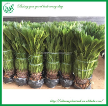Cycas Outdoor Green Plants