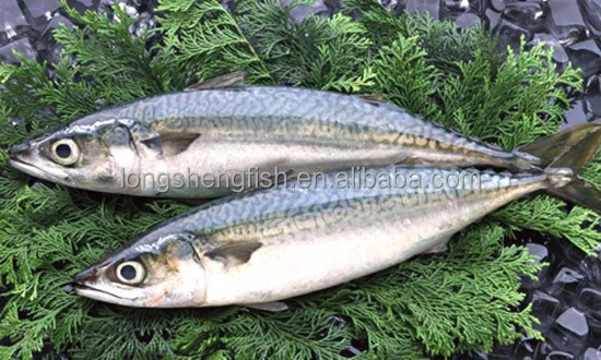 Fresh Catch Mackerel Frozen Pacific Mackerel Fish Wholesale