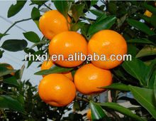 China Citrus Fruit------fresh manderin <strong>oranges</strong>