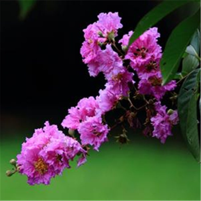 chinese seeds crape myrtle best selling lagerstroemia indica seeds