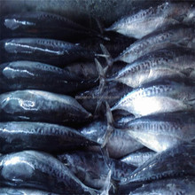 Frozen <strong>fish</strong> manufacturer whole bonito <strong>fish</strong> for sale