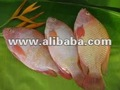 RED TALAPIA FISH