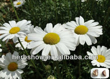 Chrysanthemum seed: Pyrethrum Seeds