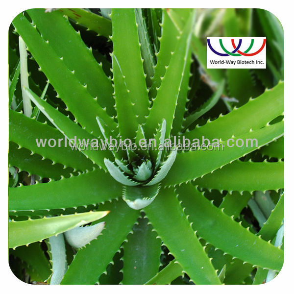High quality Aloe Vera Extract/Aloe Vera Extract powder/price of aloe vera leaf