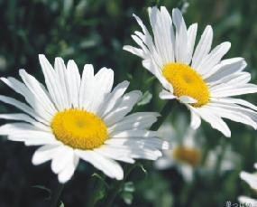 100% Pure Chamomile(German) Essential Oil