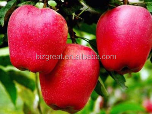 Supplying Fresh apple with high quality for hot sale