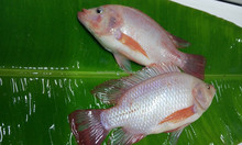 hot sale market for fresh IQF frozen whole round red tilapia