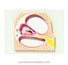 Enlarged Human Cochlea and Corti's Organ Structure Plastic Model