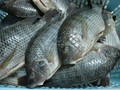 Tasty and fat nile tilapia frozen fish
