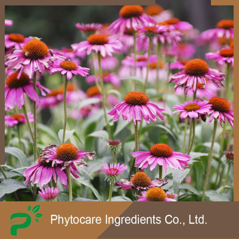 Professional plant derived polyphenol echinacea purpurea extract