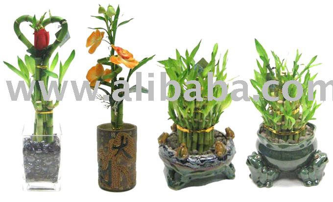 #301Lucky Bamboo Plants - Assorted Styles