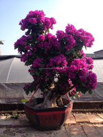 purple flowers Bougainvillea bonsai