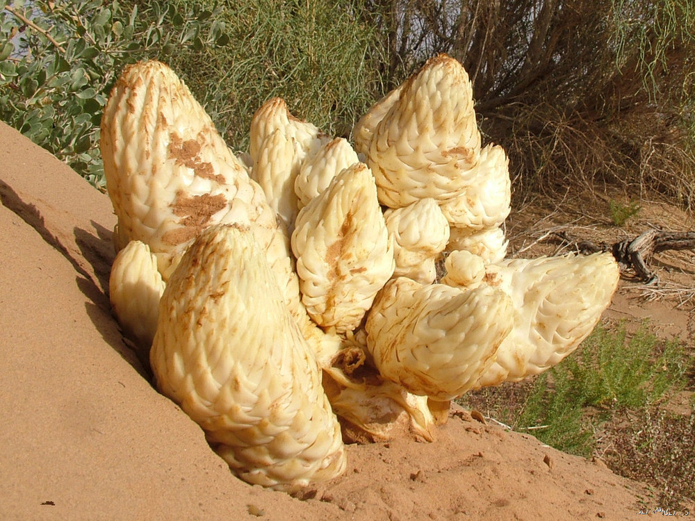 Cistanche Deserticola Extract / cistanche tubulosa extract HALAL Certificates Natural Sex inprovement