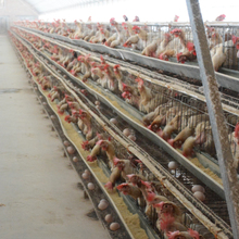 High quality chicken transport pullet cage laying hens