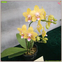 Yellow flower butterfly orchid live phalaenopsis from China