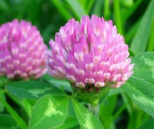 Bulk production Red Clover Extract Powder 40% Total Isoflavones