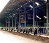 fast install easy maintain steel structure cow dairy farm shed