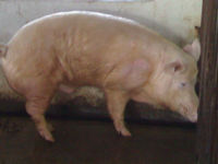 YORKSHIRE PIGS FOR BREEDING AND FOR PORK MEAT