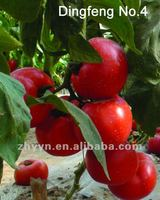 Red Fruit Tomato F1 Hybrid Tomato Seeds