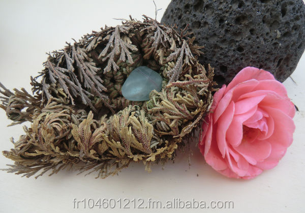 DELUXE Rose of Jericho / Selaginella lepidophylla Resurrection Plant filled with semi precious stone