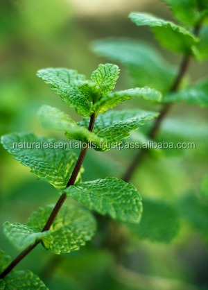 Pure & Natural Peppermint Oil GMP/ISO