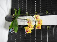 CYS62_Popular Yellow Sun Prince mini Daily Butterfly orchid in Taiwan