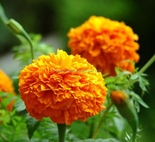 Lutein raw material calendula officinalis flower extract