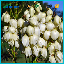 natural product yucca schidigera extract benefits