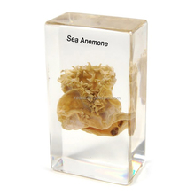 Sea Anemone anatomical specimens