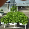 Greenhouse Large Flat Hydroponic System For
