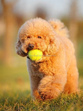 soft ball natural rubber dog toy