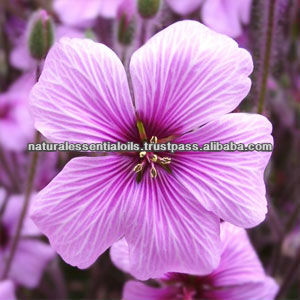 2015 Best Manufacturing for Geranium/Rose Geranium Essential Oil