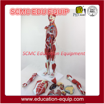 SE324118 whole body muscular model, 78cm, 27parts