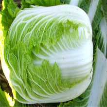 home gardening popular vegetable seeds hybrid cabbage seeds