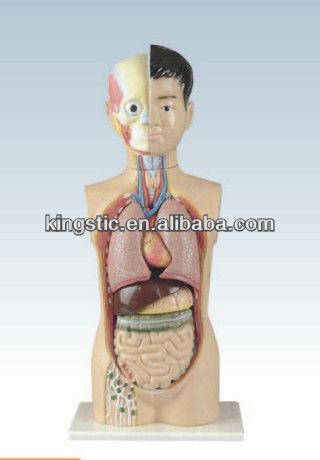 Human Torso MD1201-3,Medical Plastic Torso Model