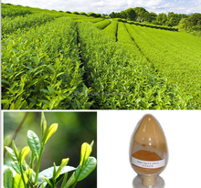 GMP factory supply Hot sale high quality Tea Saponin 50-98%