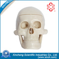 Mini skull Heads For Medical College And Medical School