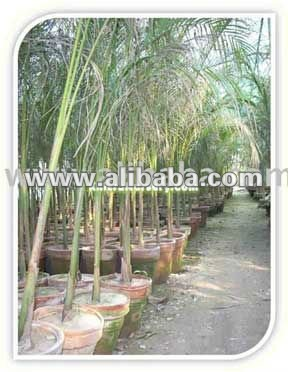 Roystonea Regia Royal Palm Tree Plants & Seedlings Suppliers Growers